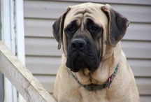 Mastiffs / by Kr♡sta M