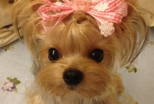 ❤ YoRkie LuV 3 ❤ / by 🌷🌷🌷Mary Waggle🌷🌷🌷