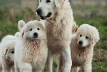 Hungarian Sheepdogs