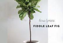 Zimmerpflanzen / Pflanzen machen eine Wohnung erst so richtig wohnlich. Ob Kaktus oder Fikus, für jeden gibt es das passende Grünzeug