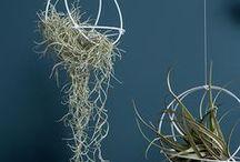 tilandsien / Air Plants, Tilandsien oder wie auch immer man sie nennen mag. Diese Pflanzen sind pflegeleicht und brauchen nicht einmal Erde zum überleben. Perfekt eben auch für Menschen ohne grünen Daumen
