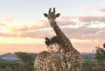 Spectacular South African Honeymoons / Safari-style honeymoons from Cape Town and Kruger National Park to the South African wine route