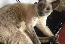 Simease Cats / I love my Siamese cat Rani and would love too see how many friends I can find out there!
