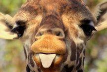 Giraffes / Really cute animals!!