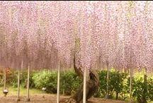 Whispering wisterias ... / by Eleanor Rawinia Tuhi