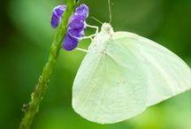 Butterfly Wings / Love the beautiful colors of butterflies.  Here is my butterfly board. / by Janice Cohen