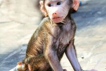 Animals: Baboons / Photo galleries dedicated to baboons.