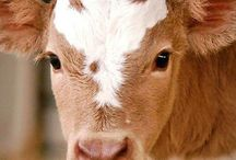 Animals: Cows / Photo galleries dedicated to cows.