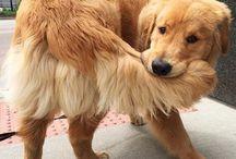 P E T S / dogs, labradors, golden retriever