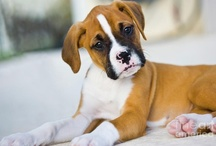 The Night I Followed the Dog / Cute boxer puppies and dogs. / by Vicki Villarreal Lenio