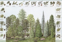 Pinecone ID Posters / Identify Conifers and Pinecones with these beautiful ID Posters.  The Conifer and Pine Cone ID Poster Field Guide is both Beautiful and Educational. Great Resource for Hikers, Schools, Camps and Organizations! Available Laminated too! / by PineConeLady Crafts