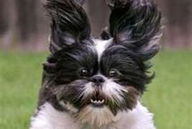 Sass Mae... My Favorite Shih Tzu / Oh, she believes she is not a dog.