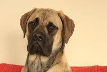 Mastiff Love / Mastiffly fun pups / by Sandy Bernard
