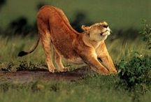 Big cats / Beautiful moments in nature