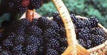 Pflanzen: Brombeeren / Brombeeren / Blackberry + Obst - Früchte / Fruit