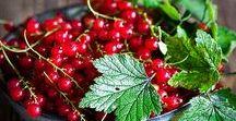 Pflanzen: Johannisbeeren / Johannisbeeren / Ribes + Obst - Früchte / Fruit