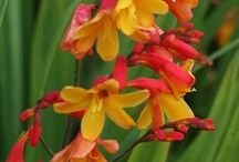 Summer-Flowering Bulbs to Plant in Spring