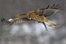 ~ Birds of Prey ~ / The bird of all birds.