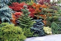 Cool Conifers / Assortment of conifers to add evergreen color to your landscape or container or everred or everblue.............