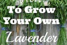 lavender / Everything you ever wanted to know about lavender. Growing and using lavender in soaps, foods and for medicinal purposes. Collected from lots of Pinterest gardening folk.