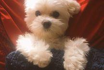 I❤️myMaltese / Chloe, my puppy-love! / by Beth Cutler Lloyd