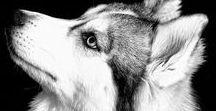 Husky (My favourite dog)