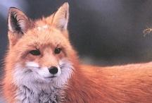foxesfoxesfoxes