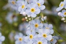 Forget Me Nots / by Dorothy Erbacher