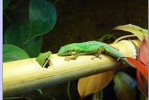 Frogs and Geckos