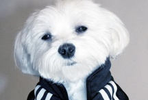 Maltese❥レ O √ 乇❥ / Beautiful dogs! like snowball :) / by 💋Blackrose💋