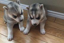 Husky / My babies
