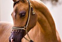 Horses / All about horses, finnish horses, english horses, arabic horses, americans horses, ....