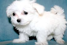 Must Love Dogs / Dogs I like, puppies that look like my Khloe (Italian Maltese) etc.