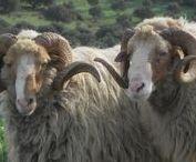 Sheeps & Goats!!!