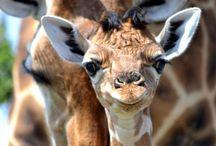 giraffes:) / by traci beeson