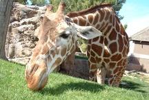 Giraffes - So freaking Cute!