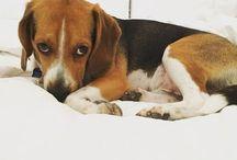 ♡ beagle love ♡ / by Michelle Acuña