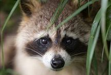 Animals - Raccoon...