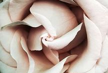 Desert Rose / Sweet desert rose.....Each of her veils, a secret promise....... This desert flower No sweet perfume ever tortured me more than this  Sweet desert rose This memory of Eden haunts us all This desert flower....... This rare perfume, is the sweet intoxication of the fall...........Sting