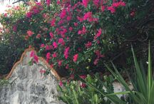 Flowers of Cozumel / Walk down any street and be greeted by vibrant color and life spilling over every wall. The care given to landscaping on Cozumel Island - public and private - is a daily delight.