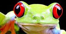 Senior Frog