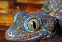 Animals - Reptilians & Amphibians