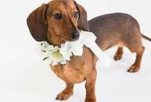 Cupid Collars | Flower Collars / Who doesn't want there furry family as part of their special day? Here are our silk flower dog collars for pets at weddings! We have a selection of designs available in a wide variety of colours and flowers. We can also make custom designs to match your bouquet and have matching satin leads (or leashes) available too!