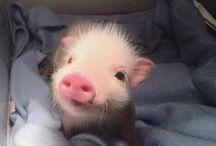 Pigs ❤️