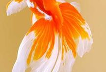 Goldfish Gallery / Here are some aquatic creatures that have the ability to fascinate people with their gracefulness, which is an soothing inspiration. This board has some unknown types of goldfish and even some guides to illustrate the abundant variety of them.