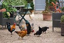 chickens / raising chickens for eggs and amusement