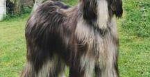 афганская, русская борзая; грейхаунд; салюки / красивые собаки