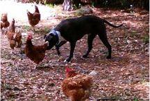 :: Chickens ::