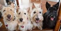 Scottie Mom Essentials / Everything you need to know about owning a Scottish Terrier + tales of Scottie dogs that will make your tail wag!