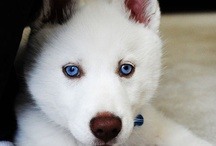 Siberian Huskies / by Jesse Csincsak